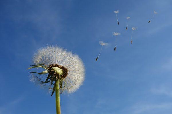 花、たんぽぽ
